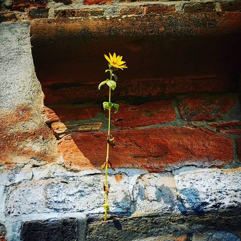 Sonnenblume wächst aus einem alten Gemäuer