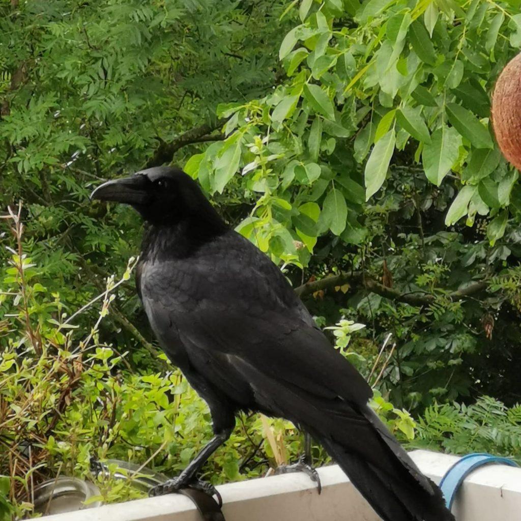 Krähe auf dem Balkon